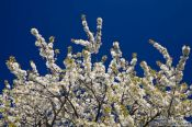 Travel photography:Flowering cherry trees, Germany