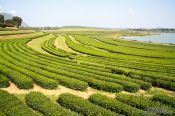Travel photography:Chiang Rai Queens Garden Tea Plantation, Thailand