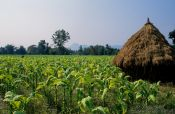 Travel photography:Tobacco plantation in Chiang Rai province, Thailand