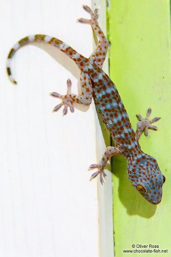 Gecko on Koh Tarutao