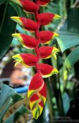 Travel photography:Flower of the Lobster Claw Heliconia plant (Heliconia rostrata), Thailand