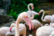 Travel photography:Flamingoes at Chiang Mai Zoo, Thailand