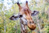 Travel photography:Giraffe at Chiang Mai Zoo, Thailand