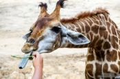 Travel photography:Giraffe with giant tongue at Chiang Mai Zoo, Thailand