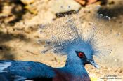 Travel photography:Victoria Crowned Pigeon (Goura victoria) at Chiang Mai Zoo, Thailand