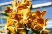 Travel photography:Yellow flowering orchid at the Mae Rim Orchid Farm, Thailand