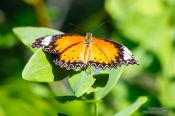 Travel photography:Butterfly at the Mae Rim Orchid Farm, Thailand