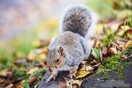 Edinburgh squirrel