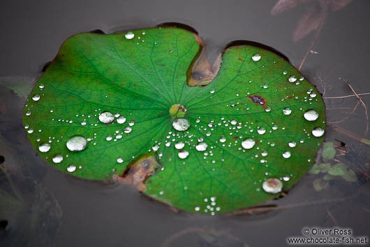 Rain drops on a water lily leaf at My Son