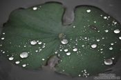 Travel photography:Rain drops on a water lily leaf at My Son, Vietnam