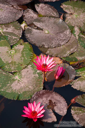 Water lilies at Hanoi´s Temple of Literature