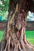 Travel photography:Tree at Hanoi´s Temple of Literature, Vietnam