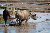Travel photography:Ploughing the rice fields near Sapa, Vietnam