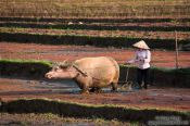 Travel photography:Ploughing a rice field near Sapa, Vietnam