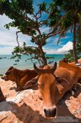 Travel photography:Two cows having a siesta in the shade at Mui Ne beach, Vietnam