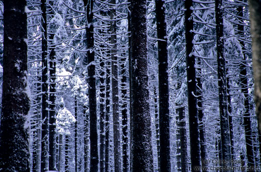 Frozen pine trees