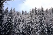 Travel photography:Snow covered pine trees, Germany