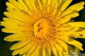 Travel photography:Dandelion flower