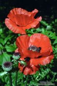 Travel photography:Poppies